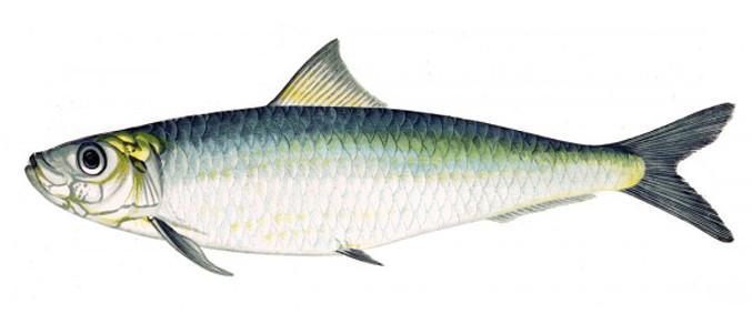 Omega 3: meglio dal pesce o dai vegetali?