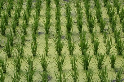 campo-di-riso-irrigato