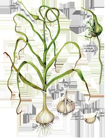 code-garlic