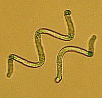 alga spirulina hawaiana