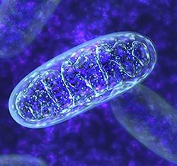 mitocondrio