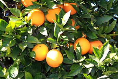 citrus aurantium amara