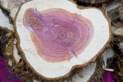 legno di rosa