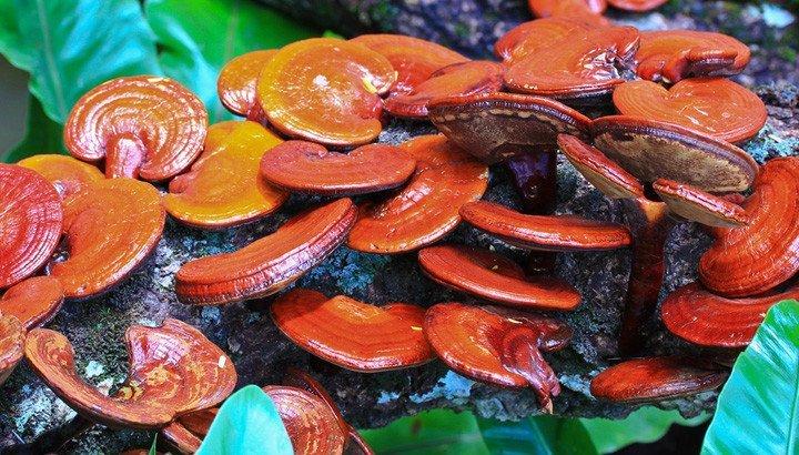 Ganoderma lucidum: proprietà, controindicazioni e prezzo del fungo reishi